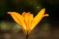 En eldfluga flyger över en lilja Royaltyfri Fotografi