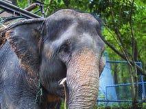 En elefant Arkivbilder