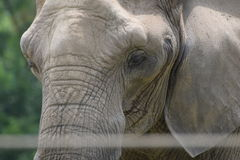 En elefant Fotografering för Bildbyråer