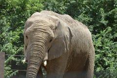 En elefant Royaltyfria Bilder