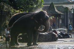 En elefant göras ren av en mahout inom templet av den sakrala tandreliken före Esalaen Perahera i Kandy, Sri Lanka Royaltyfri Foto