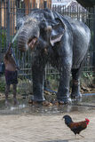 En elefant göras ren av en mahout inom templet av den sakrala tandreliken före Esalaen Perahera i Kandy, Sri Lanka Arkivbilder