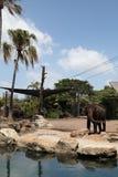 En elefant i den Taronga zoo Australien Royaltyfri Fotografi