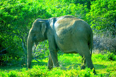 En elefant i Yallaen parkerar, Sri Lanka Royaltyfri Bild