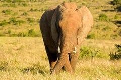 En elefant som äter i långt gräs Royaltyfri Fotografi