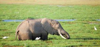 En elefant står i träsket och äter gräs Arkivfoton