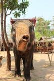 En elefant visar hans stam Arkivfoto