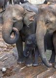 En elefantkalv söker säkerhet mellan två vuxna elefanter på Maha Oya River Royaltyfria Foton