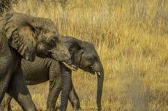 En elefantmoder och en barnkalv som går i den Pilanesberg nationalparken royaltyfria bilder