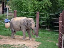 En Elephasmaximus för asiatisk elefant som går inom en bilaga på en zoo royaltyfri fotografi