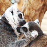 En embrassant des lémurs monkey - le baiser, concept d'amour Photo stock