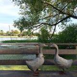 En embrassant le canard sur la terrasse en bois par la rivière avec l'éclairage sur la tache floue boken l'arbre et le fond de vu Image stock