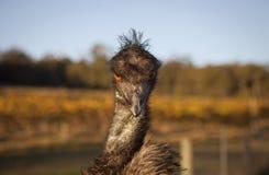 En emu att glo på kameran Royaltyfri Bild