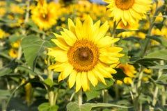En enastående person bland solrosorna på Anderson Sunflower Farm royaltyfri bild
