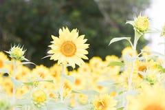 En enastående person bland solrosorna på Anderson Sunflower Farm royaltyfri fotografi