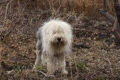 En engelsk fårhund arkivbilder