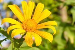 En enkel gul tusensköna Arkivfoto