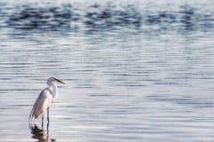En enkel häger på vattnet av sjön Paranoa arkivfoton