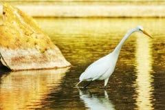 En enkel häger som jagar på vattnet royaltyfria foton