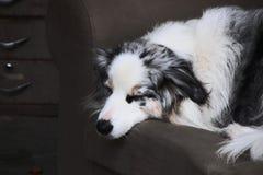 En enkel herdehund royaltyfri fotografi