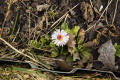 En enkel tusensköna växte i gräset i trädgården Blomma arkivfoton