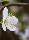 En enkel vit blomma Royaltyfria Foton