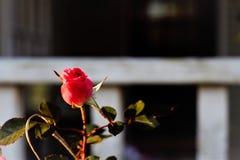 En enkla rosa Rose Bud i solnedgången royaltyfri fotografi