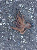 En enorm bläckfisk på stranden Royaltyfria Foton