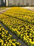 En enorm blomsterrabatt av gula marygolds Fotografering för Bildbyråer