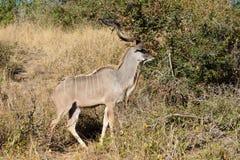 En enorm manlig kudu royaltyfri bild