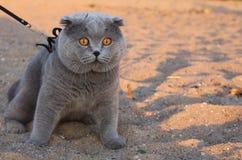 En enorm rökig katt med gula ögon och en krage royaltyfri fotografi