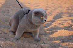 En enorm rökig katt med gula ögon och en krage arkivfoton