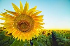 En enorm solig blomma fotografering för bildbyråer