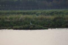En ensam ägretthäger i Bohai våt-länder den nya parlen royaltyfria bilder