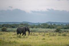 En ensam afrikansk elefant går till och med gräset arkivbilder