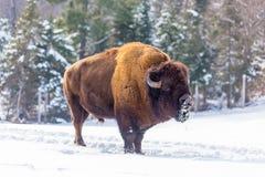 En ensam amerikansk fältbuffel i vinter Royaltyfri Bild