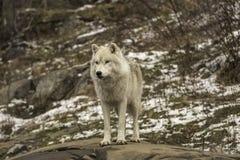 En ensam arktisk varg i nedgång Royaltyfri Bild
