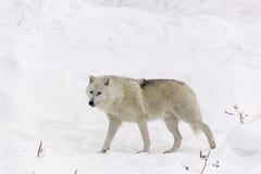 En ensam arktisk varg i nedgång Royaltyfria Bilder