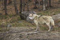 En ensam arktisk varg i nedgång Arkivbild