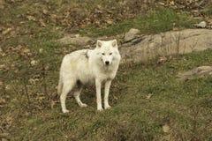 En ensam arktisk varg i nedgång Fotografering för Bildbyråer