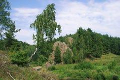En ensam björk i skogen royaltyfri foto