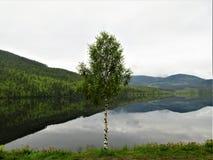 En ensam björk, medan skogen reflekteras i fjorden fotografering för bildbyråer