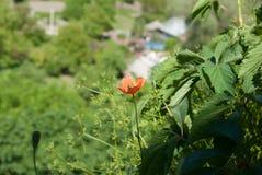 En ensam blomma Röd vallmo Arkivbilder