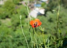 En ensam blomma Röd vallmo Arkivfoto