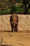 En ensam elefant för en gå. Arkivbild