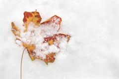 En ensam färgrik lönnlöv som kastas i snowbanken i vintern Royaltyfria Bilder