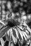En ensam fjäril som sitter på en härlig blomma i svartvita färger royaltyfri foto