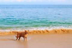 En ensam hund på stranden arkivbilder