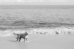 En ensam hund på stranden Arkivbild