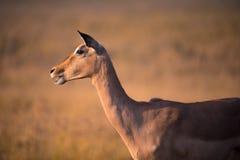 En ensam kvinnlig impala som ser in i avståndet på den guld- timmen, Sydafrika arkivbild